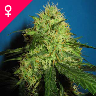 Buy Big Bud Feminized Seeds online